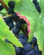 2017 harvest: first grapes in vats in early September